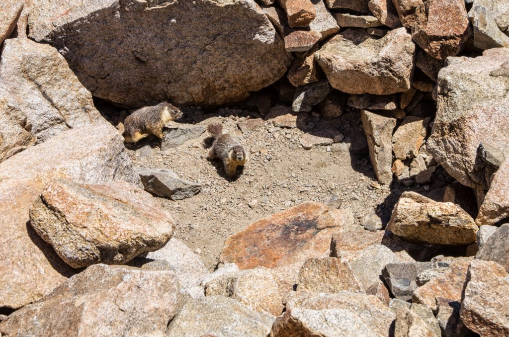 a family of marmots