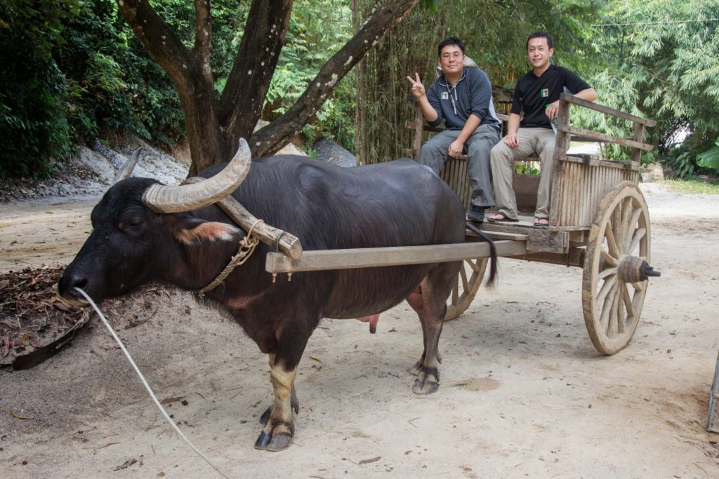 water buffalo tuk tuk